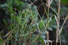 Mariposilla en la hierba (esta_ahi) Tags: olrdola polilla moth lepidoptera insectos fauna peneds barcelona spain espaa