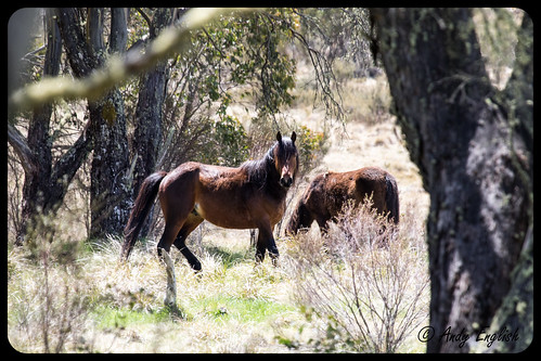 Brumbies of the Snowy Mountains