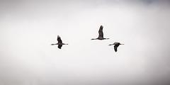 Sandhill Cranes (mlhell) Tags: alaska anchorage animals bird nature sandhillcranes wildlife