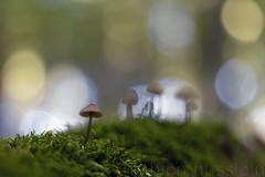 Nur eine Stunde im grnen Wald (Fabien Husslein) Tags: champignon mushroom bokeh nature foret forest wald bois wood automne autumn fall herbst