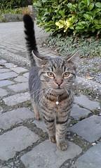 Gent_le ptit dernier des nouveaux voisins..._20161023_170017 (Hlne (HLB)) Tags: cat katze chat kitty ghent gent gand belgique belgi europa europe street rue strasse