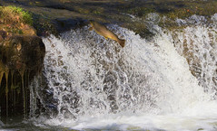 Trophy Brown Trout Jumping Waterfall (Mike Martin, Wildlife Photography) Tags: trout germanbrowntrout browntrout troutjumpingfalls