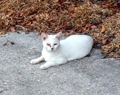 2016- Feral 02 (teresamarkos) Tags: cat cats kitten kittens felines feline