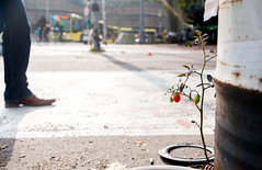 Surviving the urban jungle (Bart Weerdenburg) Tags: urban stad city utrecht urbanjungle streetphotography plant tomato tomaat brave survivor