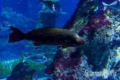 Argyrosomus regius (AquariumBlog.es) Tags: acuario aquarium peces fish pez marino saltwater water freshwater dulce agua corales payaso clown sepia acantharus pterois pomacanthus barcelona arrecife reef