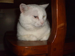 Mystic (universalcatfanatic) Tags: wood cats white green eye kitchen cat table wooden eyes chair top under underneath mystic laying