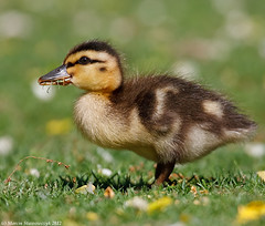 Duckling (v4vodka) Tags: bird nature animal duck wildlife birding duckling mallard birdwatching anasplatyrhynchos mallardduck kaczka kaczuszka kaczkakrzyzowka kaczatko