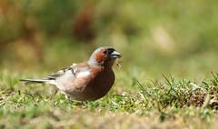 IMG_26942 (lliteonn) Tags: portrait flower bird nature abdullah ornito durmuş liteon