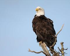 Overwatch (T0nyJ0yce) Tags: canada bird nature bc eagle britishcolumbia wildlife baldeagle raptor birdofprey americanbaldeagle wildeagle tamron150600