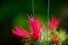 ティランジア・イオナンタ スクリクタ/Tillandsia ionantha var.stricta パイナップル科チランジア属 (nobuflickr) Tags: flower nature japan ionantha 大阪市 osakapref 咲くやこの花館 turumi ryokuchpark awesomeblossoms varstricta ティランジア・イオナンタ tillandsiaionanthavarstricta パイナップル科チランジア属 20141025dsc07726 スクリクタtillandsia ティランジア・イオナンタスクリクタ