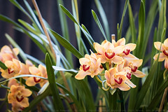 63rd  Annual Pacific Orchid Exposition (julesnene) Tags: sanfrancisco orchid flower macro flora orchids fortmason cymbidium 2015 pacificorchidexposition julesnene thethrillofdiscovery juliasumangil canonef100mmf28lmacroisusm canon7dmarkii canon7dmark2 63rdannualpacificorchidexposition