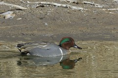 Green-winged Teal (Natures Joy Photography) Tags: newmexico teal albuquerque greenwingedteal anascrecca greenwinged riograndenaturecenter gwte wwwnaturesjoyphotographycom