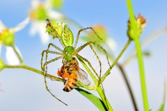 End of a Bee-utiful Day (donjuanmon) Tags: blue sky macro green closeup spider eating bee honey lynx donjuanmon