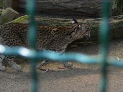 Salzkatze (Leopardus geoffroyi salinarum) P1620260 (martinfritzlar) Tags: opelzoo zoo kronberg tiere säugetiere katzen salzkatze leopardus tier säugetier raubtier katze kleinfleckkatze felidae leopardusgeoffroyi leopardusgeoffroyisalinarum mammal cat wildcat geoffroyscat