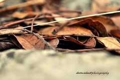 leaves in winter...my thoughts flying away (dimitra_milaiou) Tags: world life winter light fall love nature colors leaves greek photography still nice nikon moments day shadows time earth many greece together planet mystras dimitra 2015 sparti ελλαδα φωτογραφια δήμητρα δημητρα milaiou μηλαιου μηλαίου