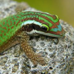 Reunion Island ornate day gecko (Phelsuma inexpectata) (Cdric Mroczko) Tags: reunion island reptile ile panasonic gecko runion phelsuma manapany inexpectata fz200