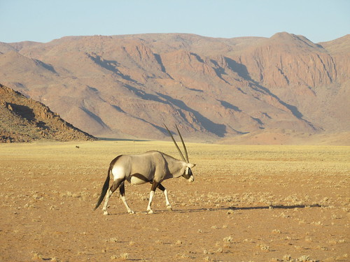 Oryx, Namibie
