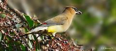 Cedar Waxwing ... 1116 (Ethan.Winning) Tags: birds northerncalifornia northamerica avian cedarwaxwings ironhorsetrail walnutcreekopenspace dailynaturetnc13 dailynaturetnc14 eawinning heatherfarmnaturepreserve