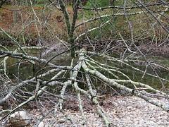 Tangle of branches (twiztid_lotus1) Tags: trees tree nature hiking massachusetts branches quabbin ware rt9 quabbinreservoir quabbinpark