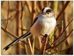 All alone! (macfudge1UK) Tags: uk england tree bird nature fauna spring europe branch britain wildlife ngc npc gb perch s1 oxfordshire avian oxon perching 2015 britishbirds finepixs1 fujis1 britishbird bbcspringwatch allrightsreserved naturethroughthelens rspbgreenstatus fujifilmfinepixs1 fujifinepixs1