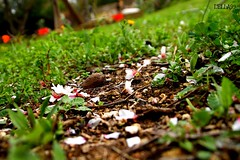 LA CADUTA DEI FIORI NEL TERRENO (lella 92) Tags: sardegna flowers flower verde colors sardinia natura fiori terra colori sassari mandorlo mandorle fioritura