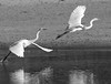 Let's leave. (007CRpicver) (candysantacruz) Tags: santacruz beach blackwhite flight egrets scphoto