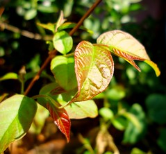 New fresh leaves. (Anu_1592) Tags: new fresh growth redleaves beautifulnature