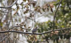 spotted dove ([s e l v i n]) Tags: wild india bird nature dove wildlife jungle maharashtra nagpur pench wildlifesanctuary spotteddove birdphotography penchnationalpark selvin penchwildlife wildlifeinpench