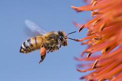 Honey Bee in Flight Gathering Pollen from Aloe Rupestris Flowers, Fairchild Tropical Botanic Garden. (pedro lastra) Tags: macro animal insect nikon outdoor d750 tamron 90mm vc apis mellifera macroactionphotography