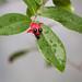 Ochna serrulata (Mickey Mouse bush)
