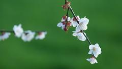 White Plum ([ Kay ]) Tags: white macro japan sony plum sigma gunma takasaki a300 105mm