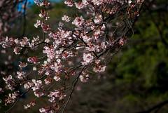 sakura (mila-sera) Tags: japan tokyo pentax sakura fa77mm k10d