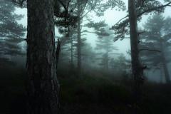 Electric (DBPhotographe) Tags: david france canon pin lee filters arbre brouillard forêt brume écorce ambiance 6d ventoux malaucène bouscarle