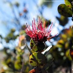 Ohia Lehua (borrowborrow20) Tags: flower nature hawaii nikon bigisland nikondigital nikonphotography d7100