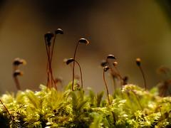 Flowering moss_1 (grzegorz_63) Tags: flowers macro nature moss flora fujifilm makro fujixs1