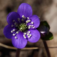 Spring flower (flubatti) Tags: