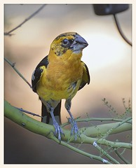 Black-headed Grosbeak X Yellow Grosbeak (gauchocat) Tags: arizonasonoradesertmuseum tucsonarizona