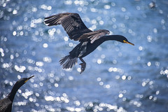Flight & Light (marktmcn) Tags: light sunlight black bird up field leaving island islands wings waves dof bokeh flight feathers away off reflected northumberland take nikkor departure shag farne dappled depth 28300mm peer staple peering outstretched d610