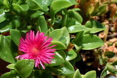 Pink Over Green (rimiguel) Tags: pink plant flower nature flora suculent