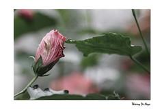 Dlicatesse - Fineness / Delicacy (Thierry De Neys - Photographies) Tags: red france flower green fleur rouge leaf groen bokeh vert rood feuille delicacy audreytautou loiret lovemetender dlicatesse sensualit fineness dsaturation attnuation franoisdamiens foenkinos thierrydeneys