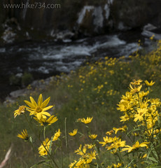 "Rocky Mountain Helianthella • <a style=""font-size:0.8em;"" href=""http://www.flickr.com/photos/63501323@N07/27741015023/"" target=""_blank"">View on Flickr</a>"