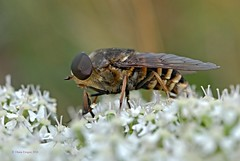 Pferdebremse 3 (DianaFE) Tags: dianafe insekt fliege blume pflanze tiefenschrfe schrfentiefe bremse makro freihandmakro