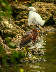 Heron and Egret on Rocks (tclaud2002) Tags: usa bird nature birds outside outdoors photography photo rocks florida wildlife stuart photograph egret waterway greenheron wadingbird geron okeechobeewaterway