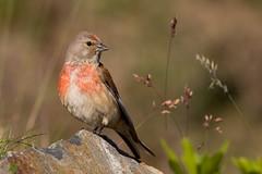 Mlodieuse (kookaburra 81) Tags: bird oiseau cardueliscannabina hautespyrnes commonlinnet linottemlodieuse fringillids passriformes