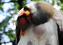 23-IMG_2380 (hemingwayfoto) Tags: berlin gefiederpflege geier knigsgeier lebewesen tier vogel zoo