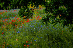 Popies with cornflowers in the garden (Hejma (+/- 4500 faves and 1,5milion views)) Tags: uplandmiechowska tree house polish landscape cloud farmlands poppies cornflowers red blue green