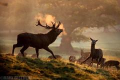 Red Deer Rut (Mark Eastment) Tags: ashtoncourt bristol reddeer rut deer animals nature wildlife mammals stag autumn early morning mist somerset