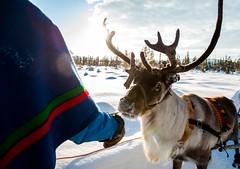Planea tu navidad (RedTravelmx) Tags: winter snow ice reindeer sweden culture lifestyle sledding tradition kiruna northernlights auroraborealis jukkasjarvi sami abisko herding sapmi swedishlapland kirunaandjukkasjarvi