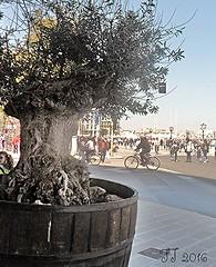 La Festa dietro l'Ulivo (triziofrancesco) Tags: tree festa albero lungomare puglia bari ulivo calebration