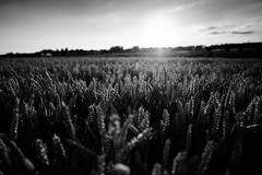 Backlit (T_J_G) Tags: uk summer england sun hot monochrome kent haze corn nikon harvest crop d750 backlit 20mm ripe nikonian 18g